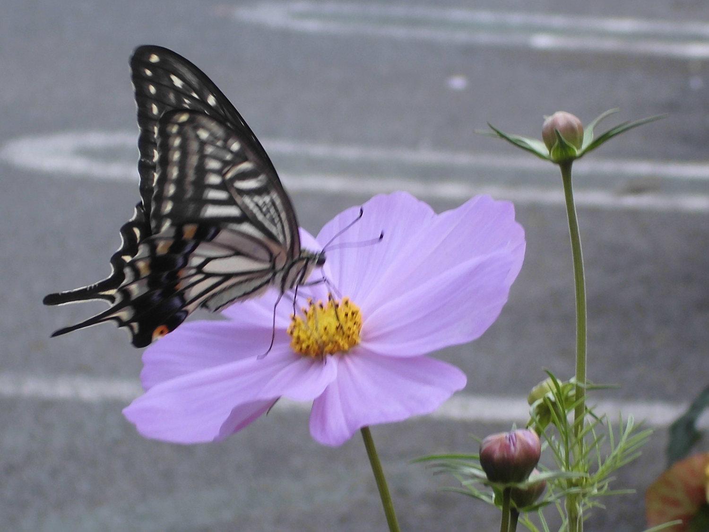 被使波斯菊入迷的蝴蝶
