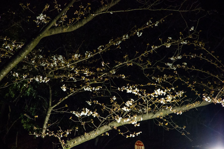 光丘公園的櫻花是2分咲! 圖片