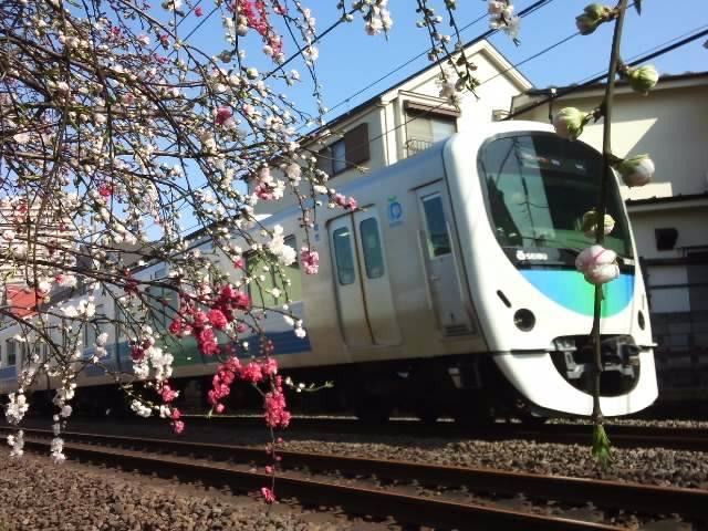 Peach blossom and Seibu Line