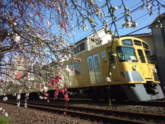 桃子的花和西武线条画像