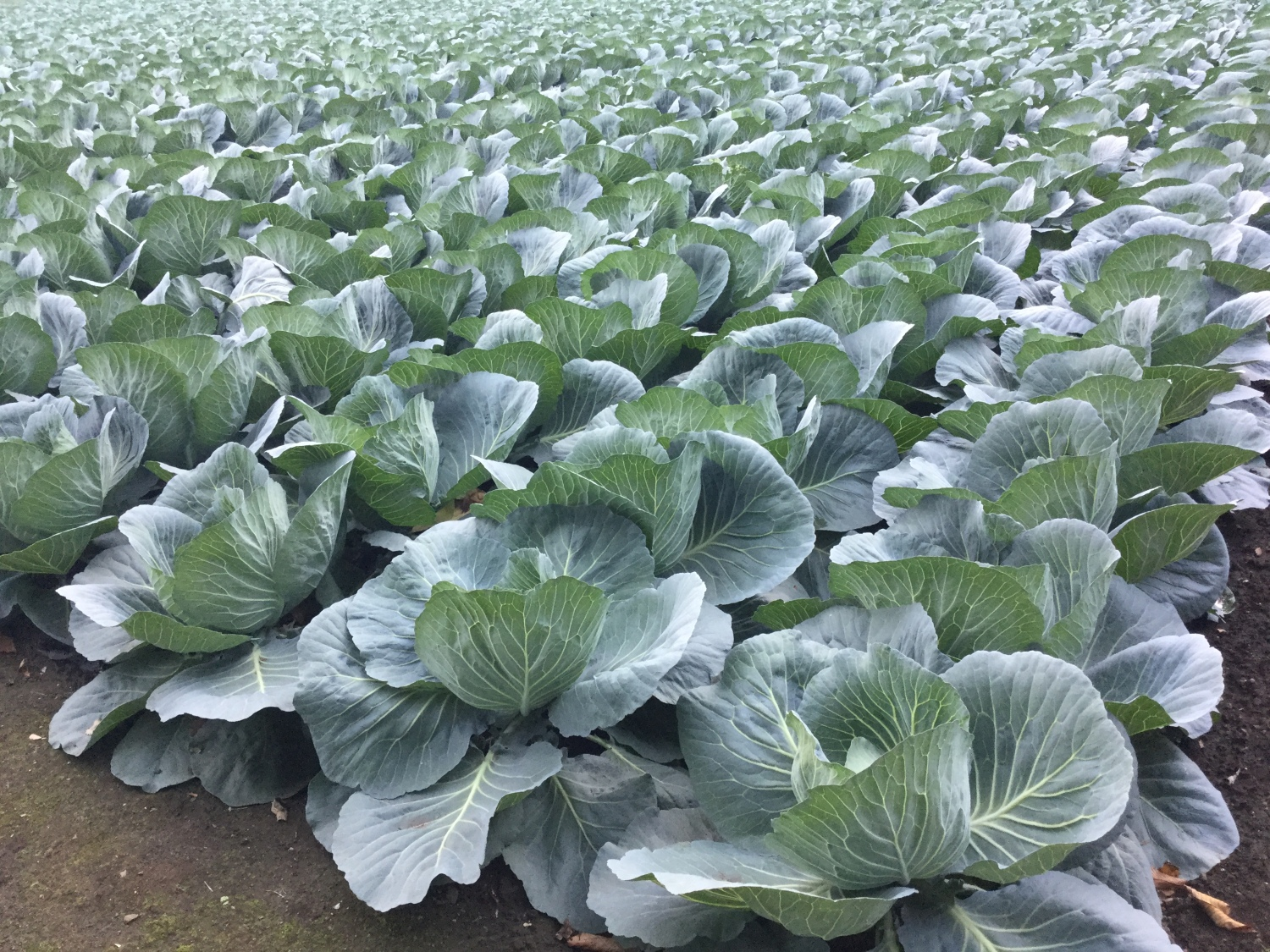 Standing in line of cabbage