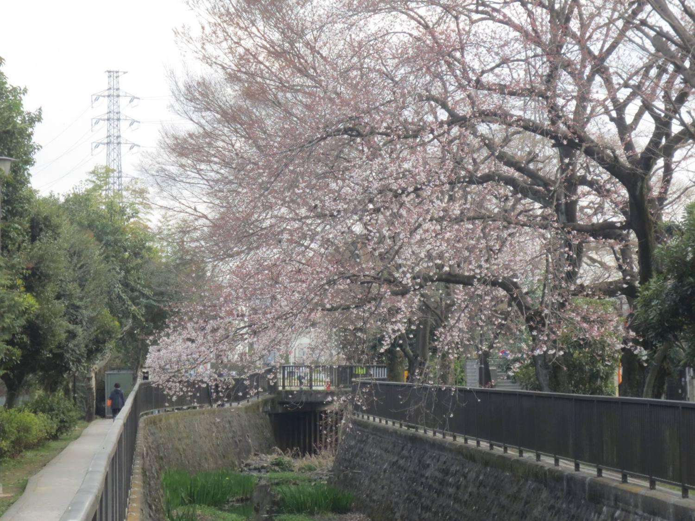 오이즈미 이가시라 공원의 벚꽃