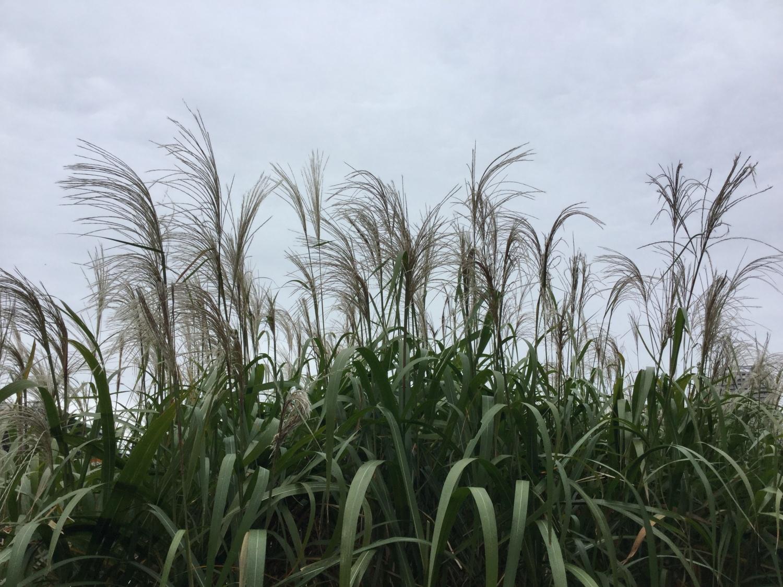 샤쿠지이코엔 보트 연못의 참억새
