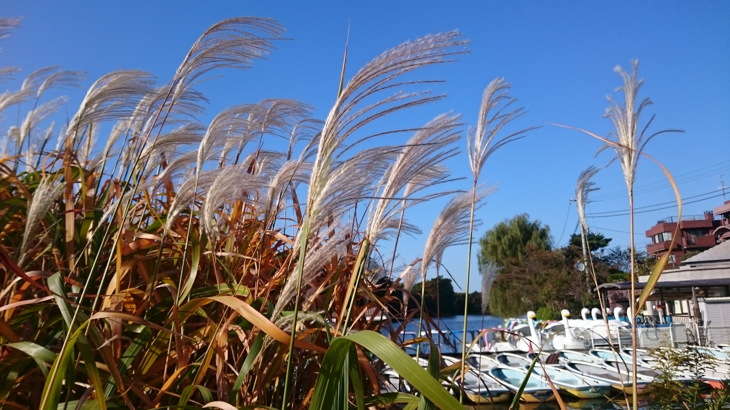 Swan and Japanese pampas grass