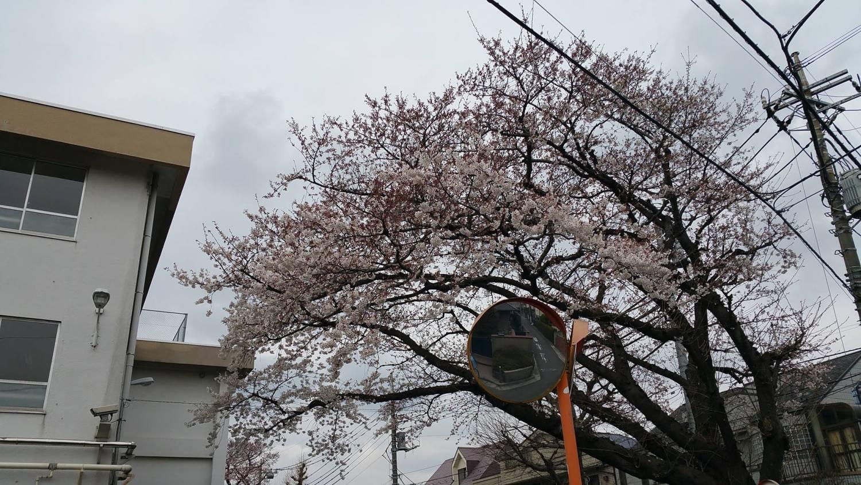 """오이즈미 제2 중학교의 """"벚꽃"""""""