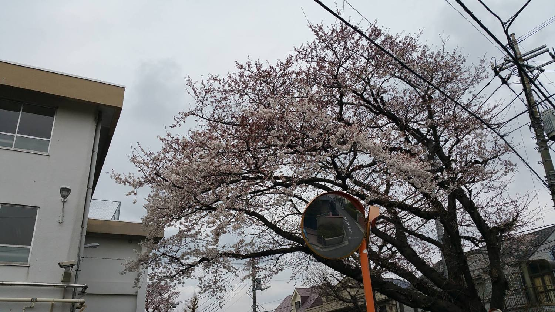 """Cherry blossoms"" of Oizumi second Junior High School image"