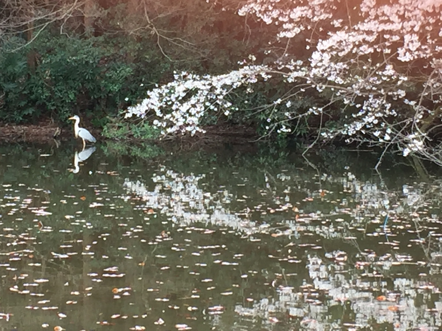 Cherry blossoms and little egret