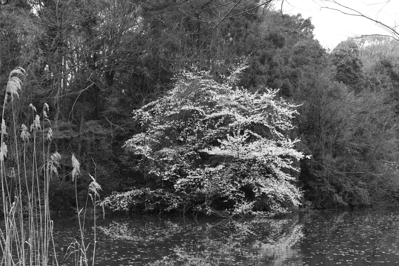 在石神井公園的平穩的日圖片