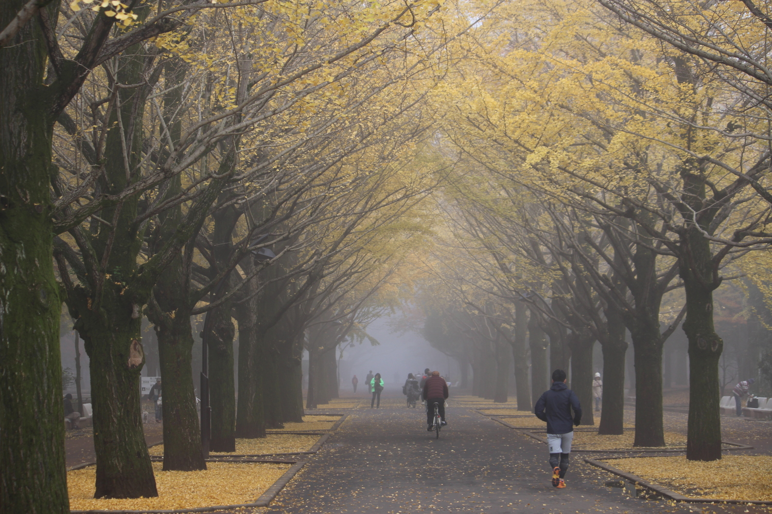 Ginkgo row of trees of morning fog