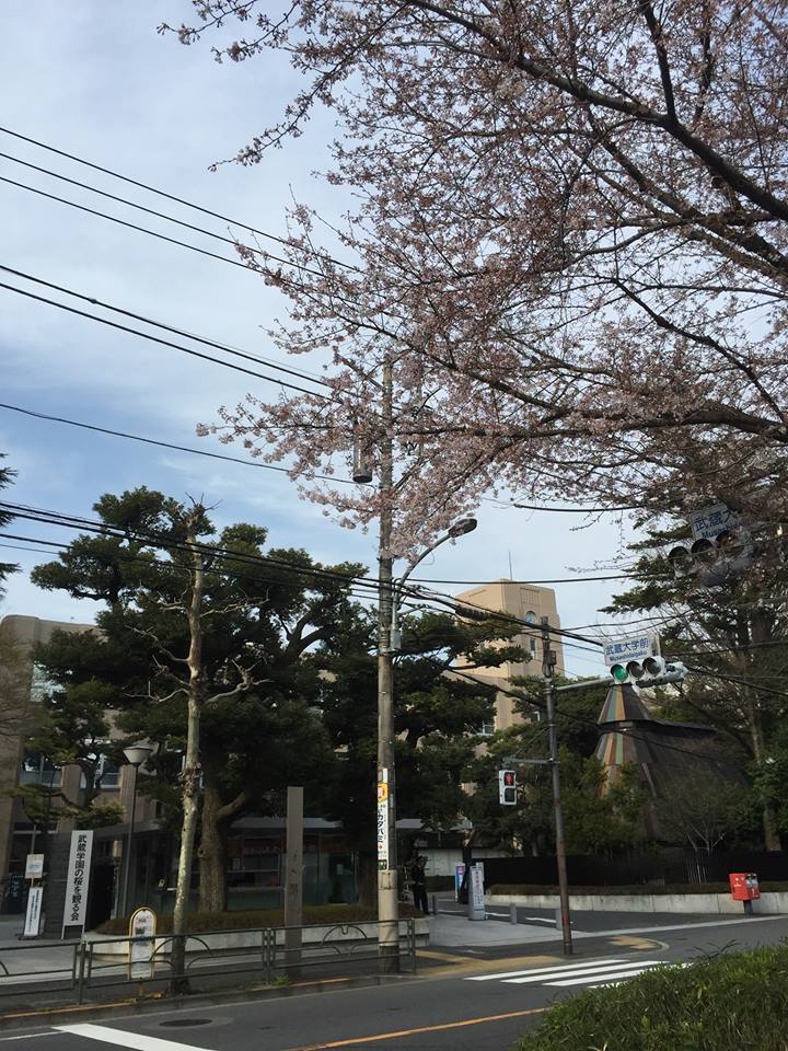 무사시 대학의 벚꽃