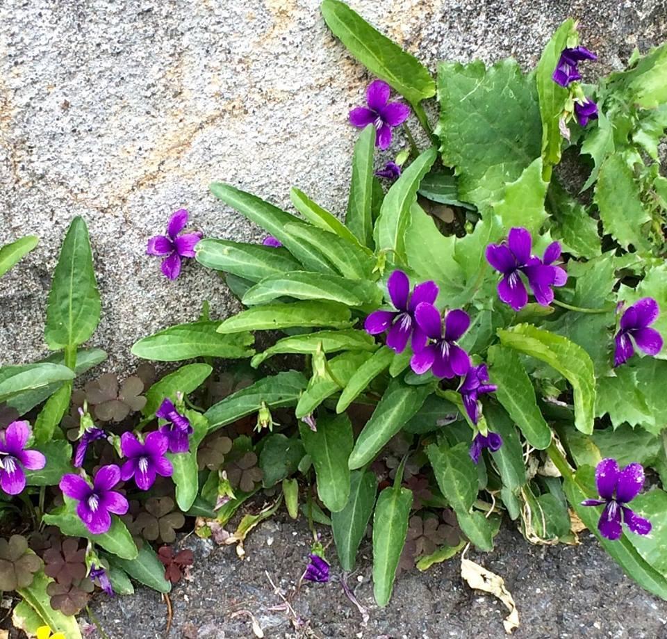 아스파르의 틈새에 기특하게 피는 진한 보라색의 제비꽃