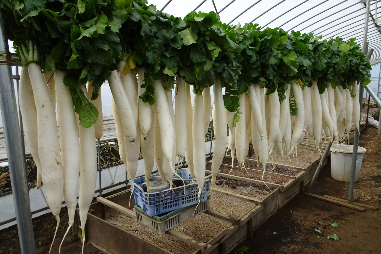 Nerima radish which shines white