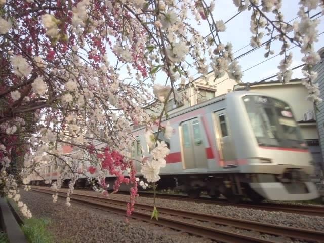 세이부선과 벚꽃