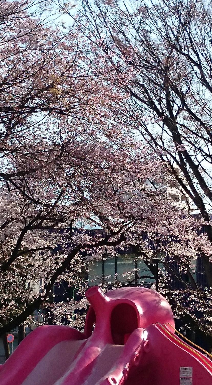 도요타마 공원의 벚꽃