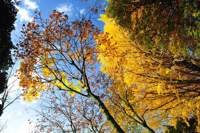 武藏關公園富士見池塘周邊的楓葉