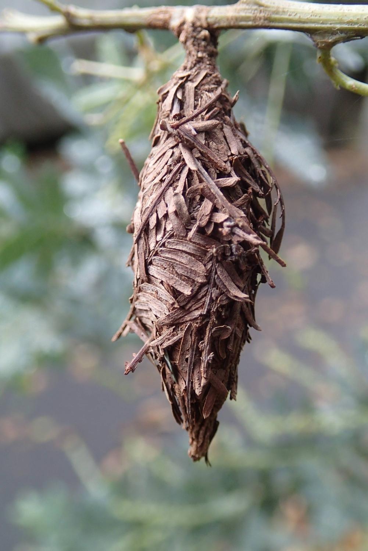 冬天也準備結草蟲,完成