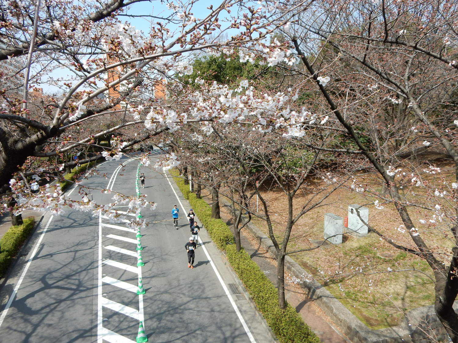 Runner who runs through cherry blossoms
