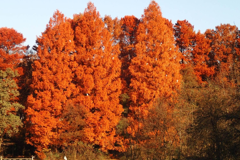 水杉的楓葉圖片