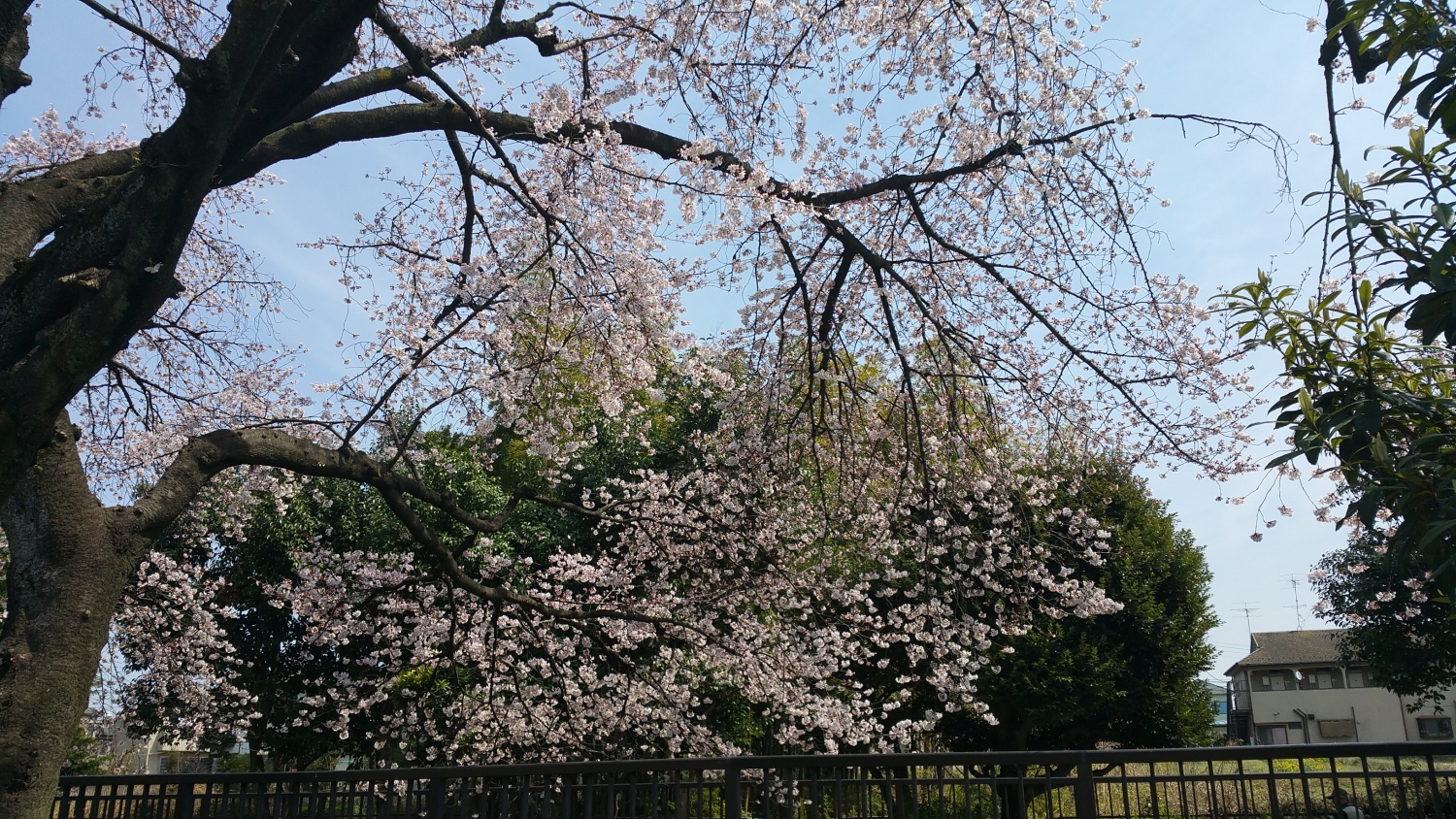 Images as for the cherry blossoms in full blossom