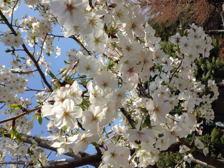 蓝天和樱花