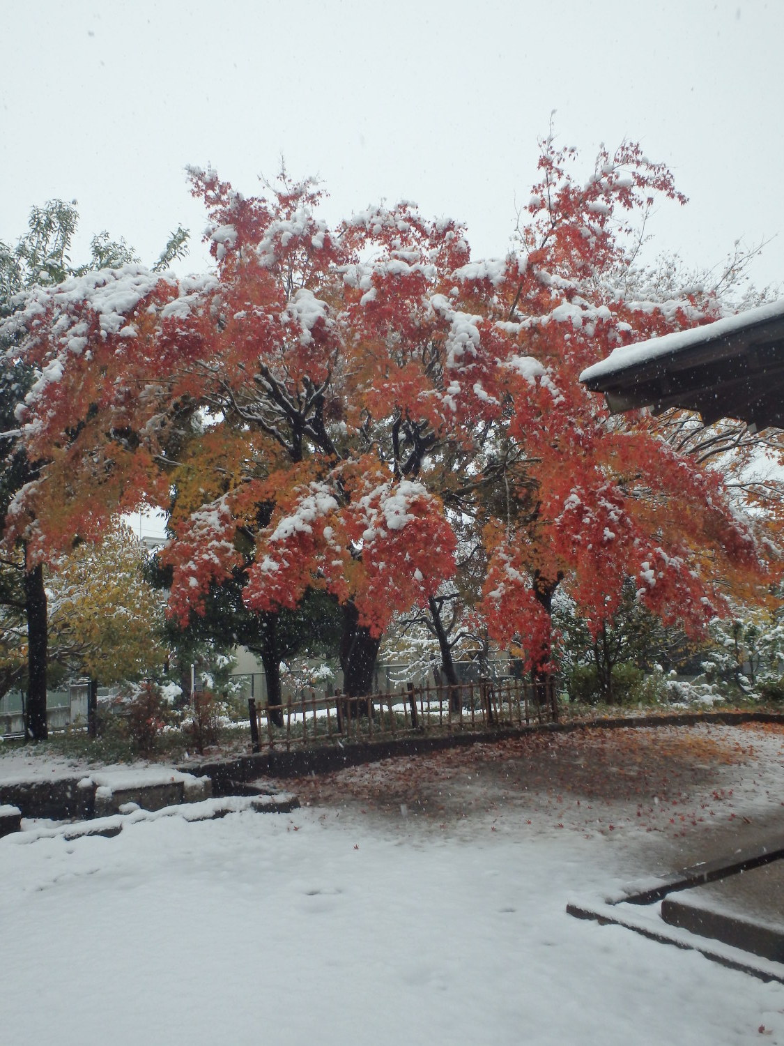 The first snow in 54 years and traffic park of colored leaves