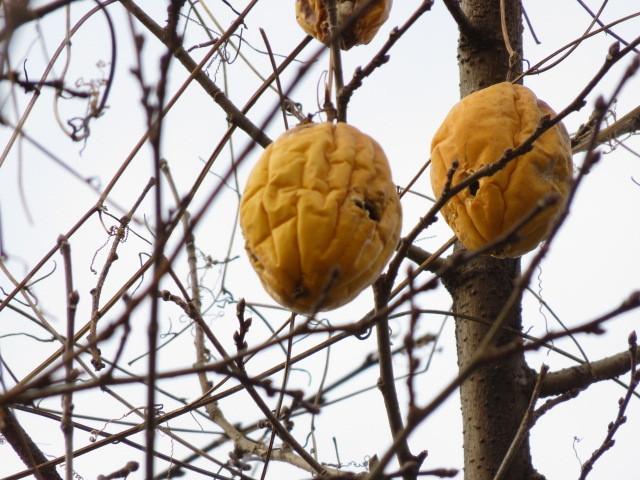可以看到kikarasuuri的黃色的果實。