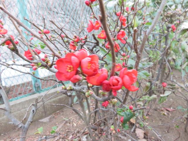kusaboke blooms