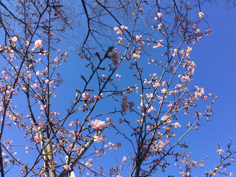 가와즈 벚꽃과 홍매화 이미지