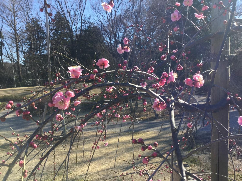 Kawazu-zakura and Japanese apricot with red blossoms image