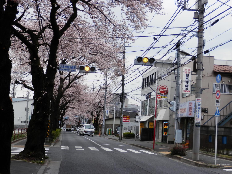 Oizumi cherry tree Festival