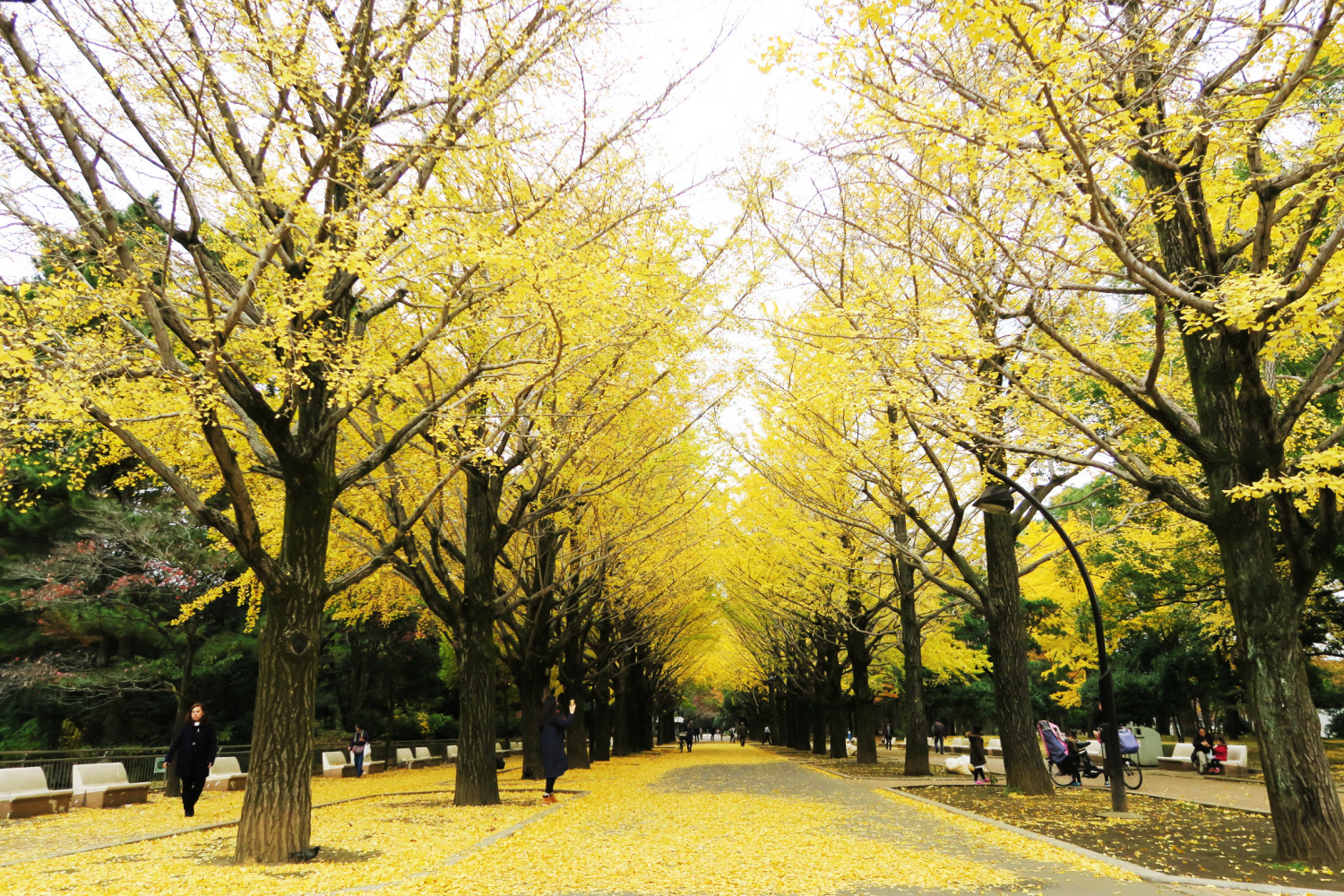 Ginkgo row of trees in front of pond of Hikarigaoka Park