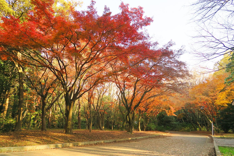 Colored leaves of Hikarigaoka Park