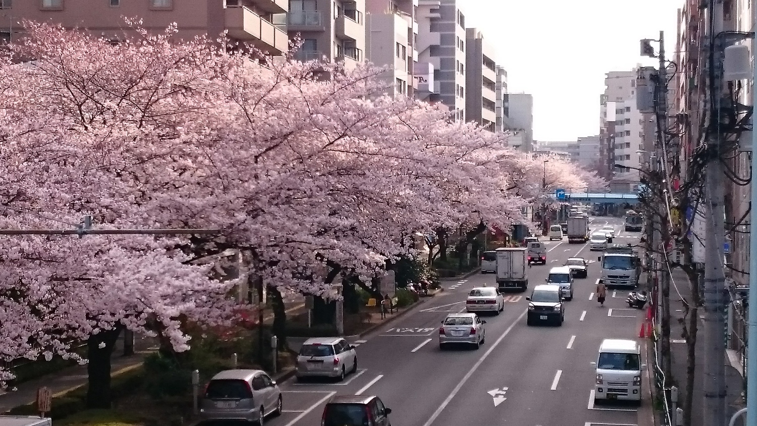 Line of cherry blossoms