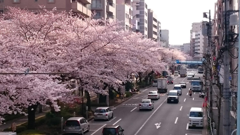 櫻花的行列圖片