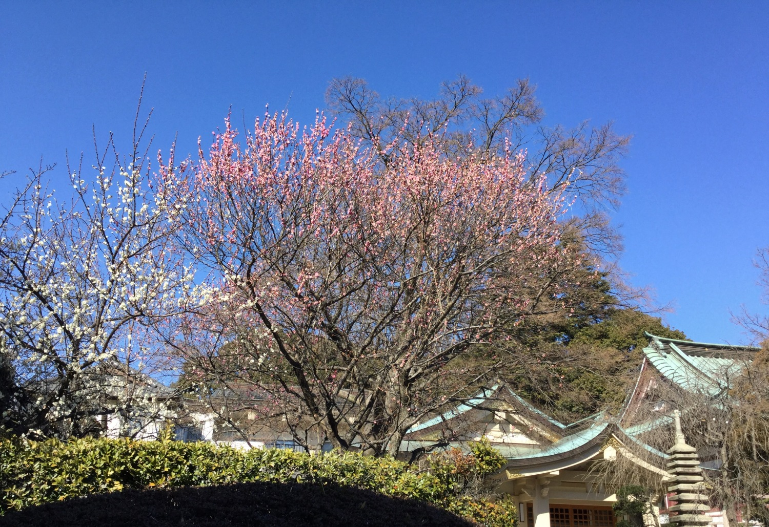 Japanese apricot with red blossoms and white plum blossoms of the House of practice asceticism on a high mountain