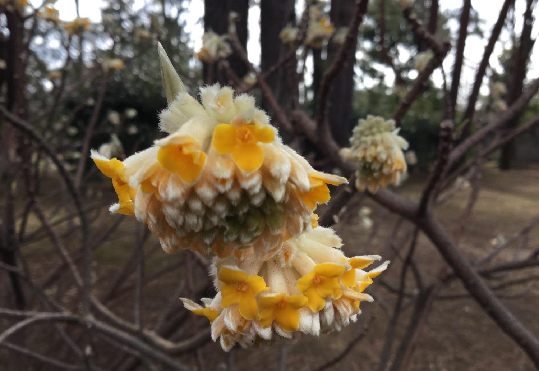 Paper bush has begun to bloom. Image