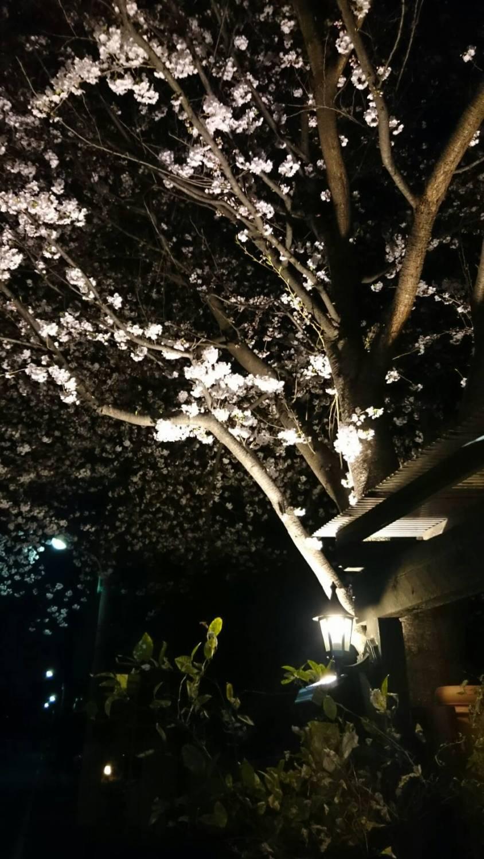 奔跑着上车的夜间樱花