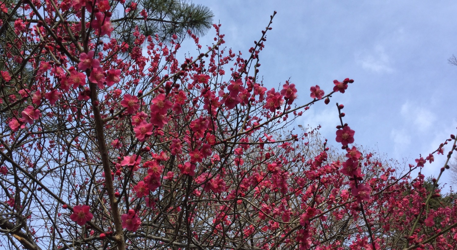 Favorite Japanese apricot with red blossoms image