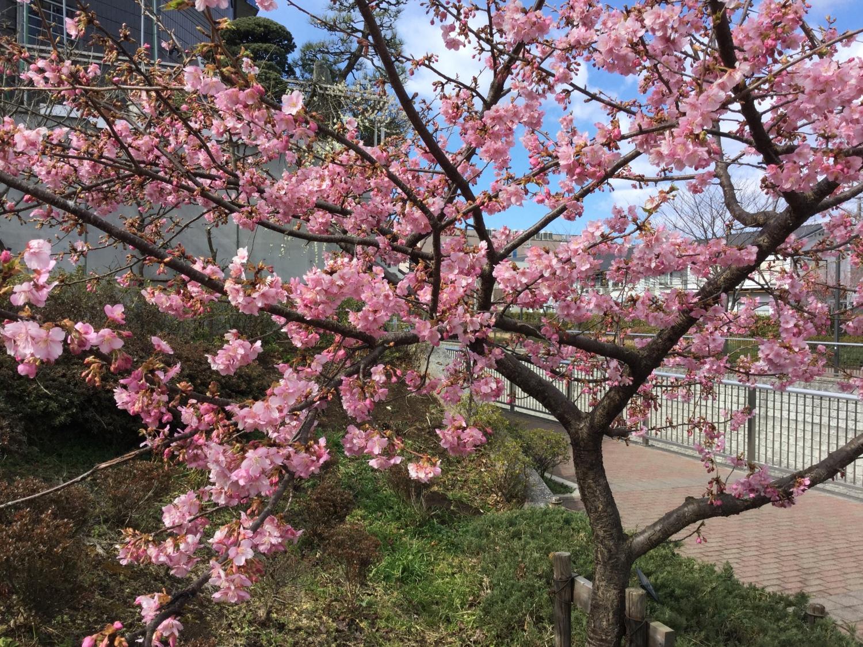 가와즈 벚꽃이 매우 예쁘다