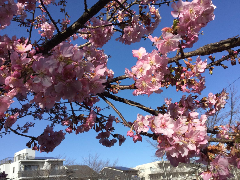 Image very clean Kawazu-zakura