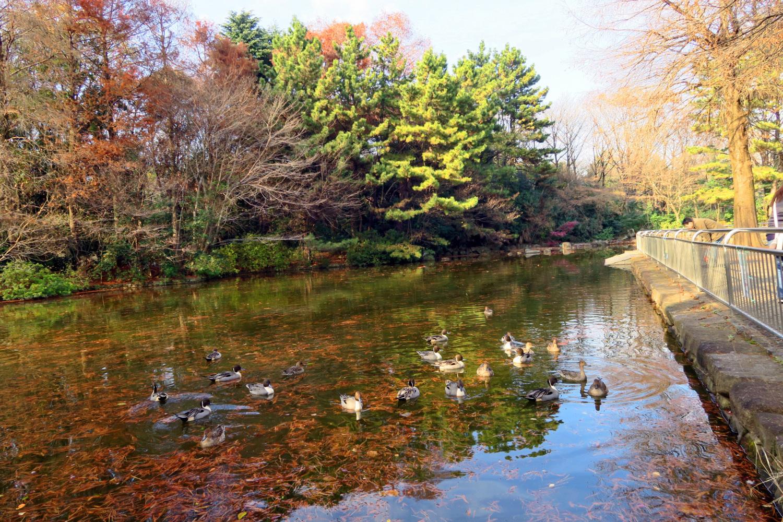 히카리가오카 공원의 연못의 오리