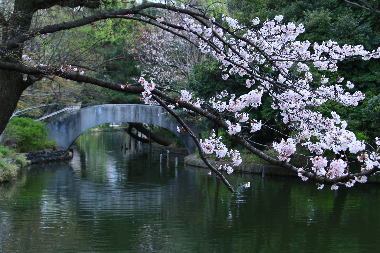 다리와 벚꽃