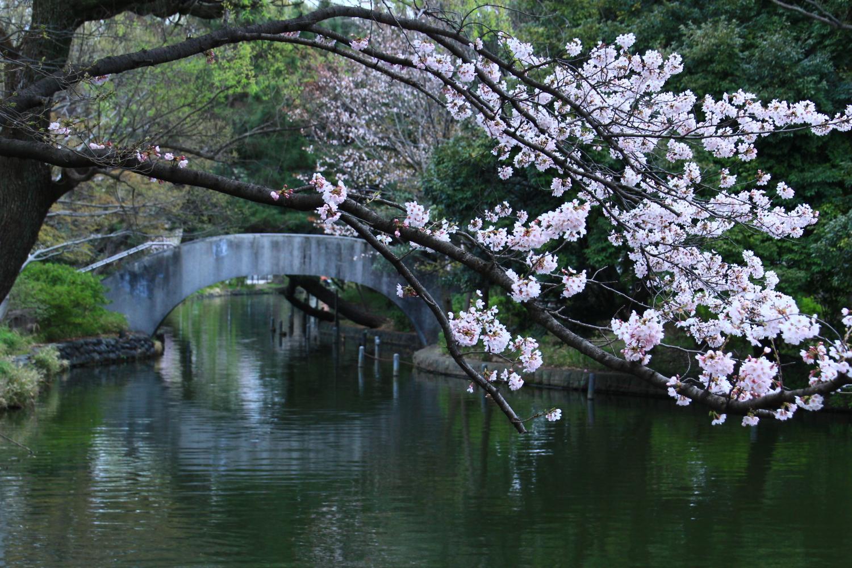 橋和櫻花圖片