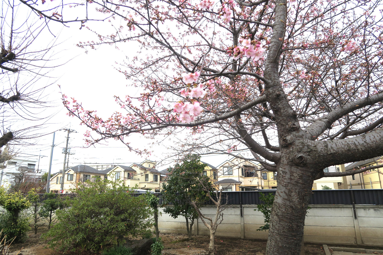 가와즈 벚꽃