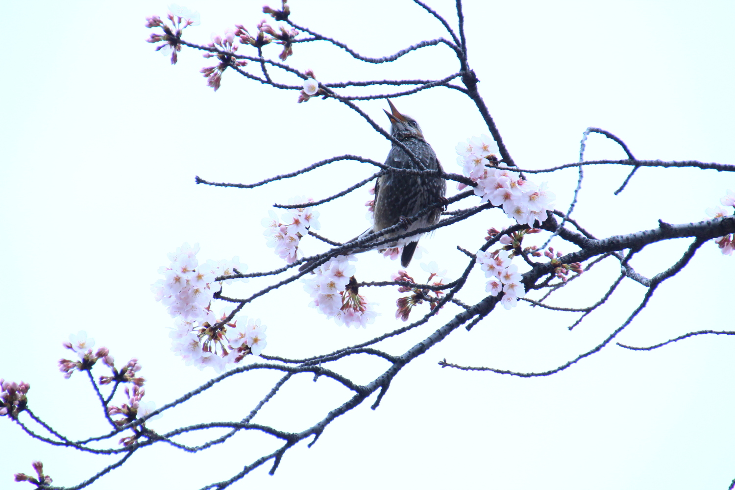 Chicken and cherry blossoms