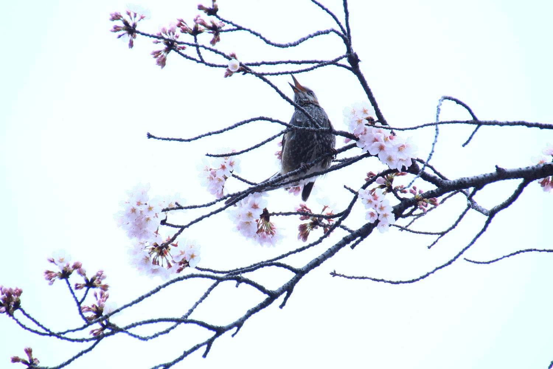鳥和櫻花圖片