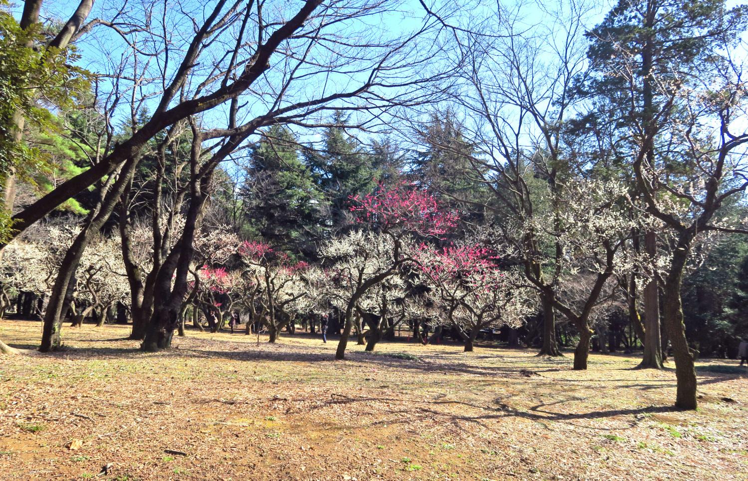 히카리가오카 공원의 매화가 만개