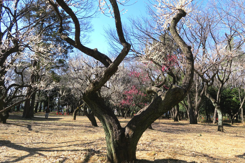 히카리가오카 공원의 우메바야시는 만개
