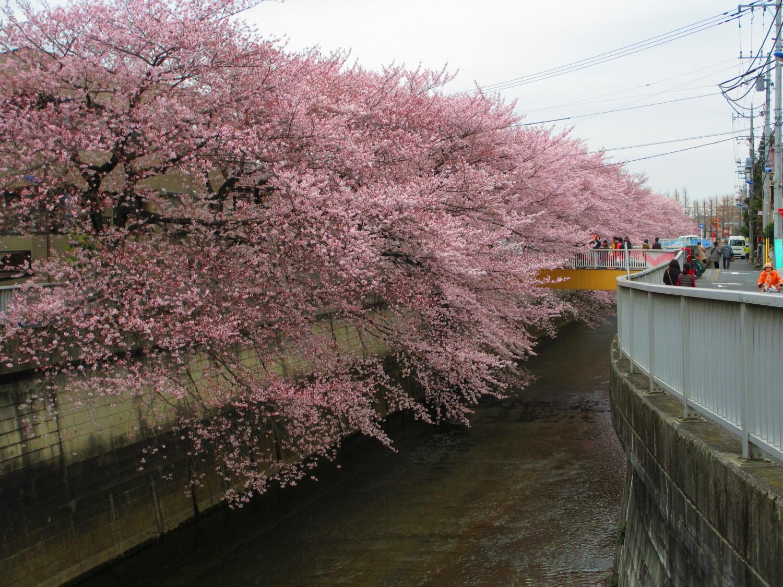 샤쿠지이가와 가의 벚꽃