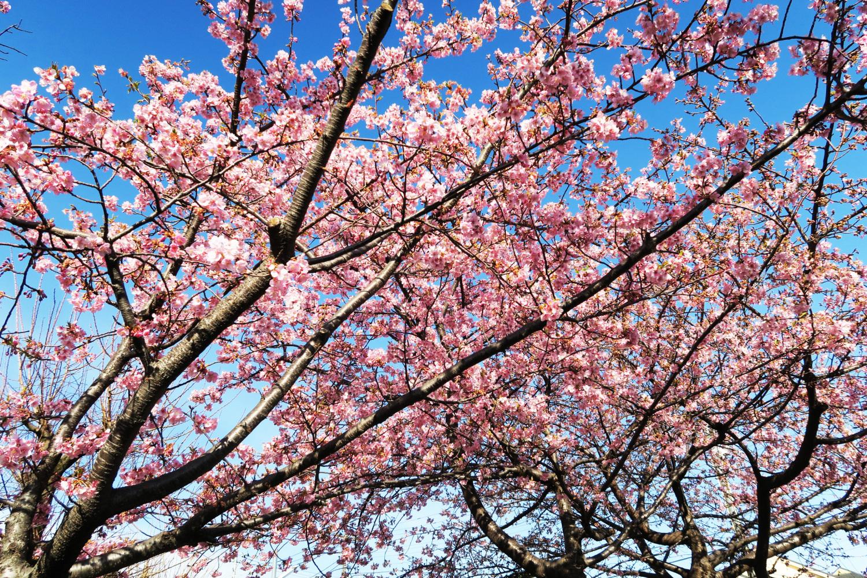 조기 개화의 가와즈 벚꽃이 만개